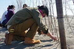 志工們將竹枝插入沙洲中,來減緩台南七股沙洲海洋線倒退。