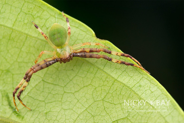Crab Spider (Thomisidae) - DSC_1247