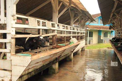 Kandang Sapi di Penginapan Margo Utomo, Banyuwangi