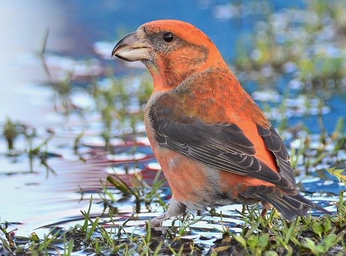 Male Crossbill in puddle.