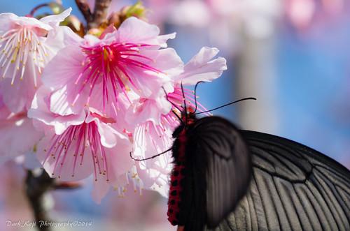 今帰仁グスク桜まつり | Okinawa #2