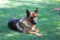 czechoslovakian wolfdog(0.0), wolfdog(0.0), saarloos wolfdog(0.0), dog breed(1.0), german shepherd dog(1.0), animal(1.0), dog(1.0), mammal(1.0), old german shepherd dog(1.0), tervuren(1.0), belgian shepherd malinois(1.0), east-european shepherd(1.0),