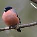 Male Bullfinch by MarkBee3