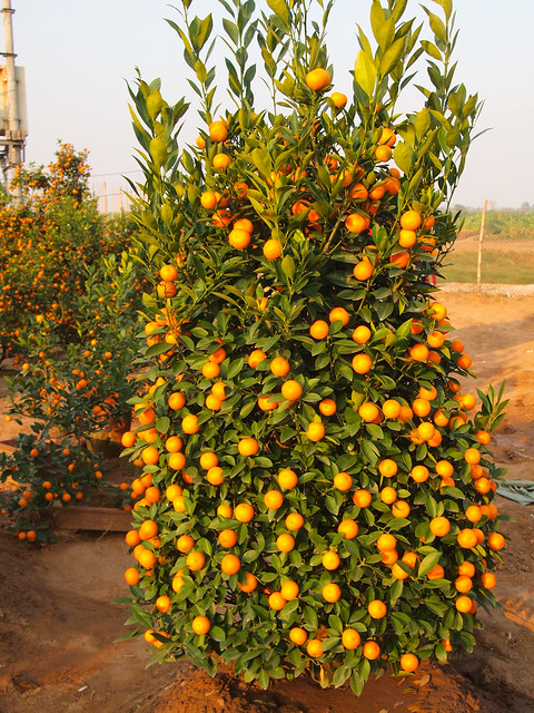 Kumquat tree for Tet in Hanoi