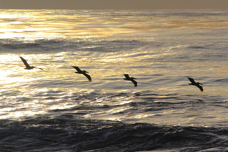 IMG_1705 California Brown Pelican at La Jolla