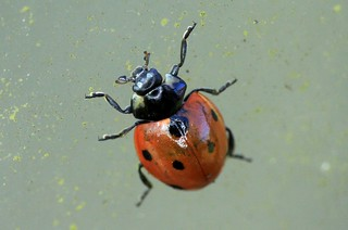 7 spot ladybird IMG_7681