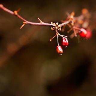 Last Few Berries