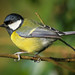 Great Tit   ( parus major ) by Chris-Henry