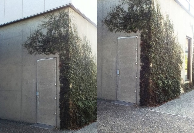 square concrete building on UC Berkeley campus, covered with ivy
