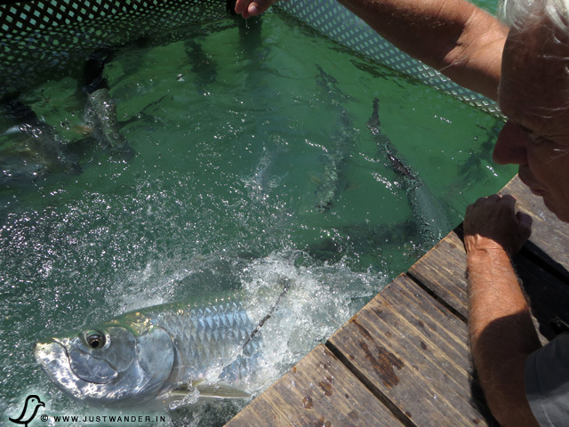 PIC: Bill's hand in the tarpon's mouth