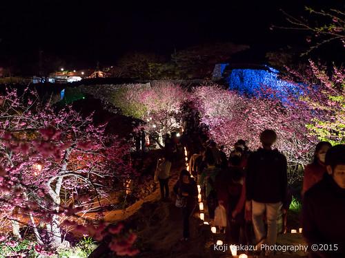 今帰仁グスク桜まつり | Okinawa #03