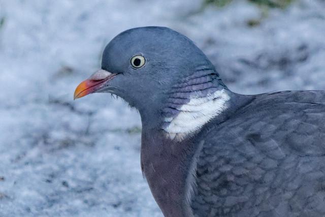 IMG_2095_DxO Wood Pigeon