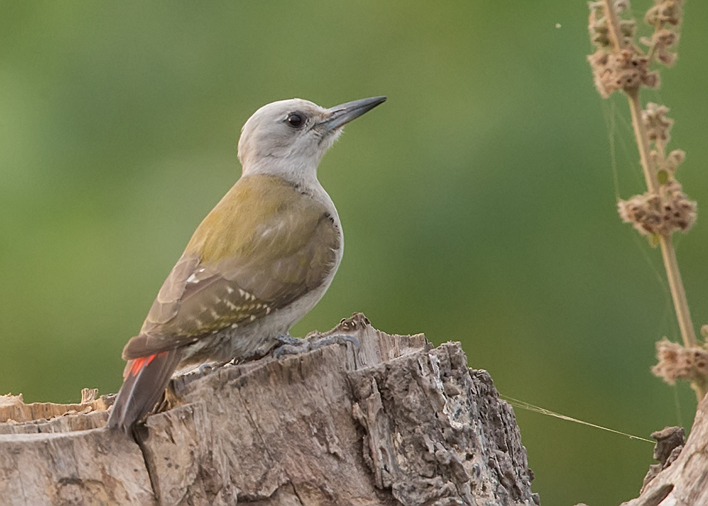 Grey-headed Woodpecker  Gambia