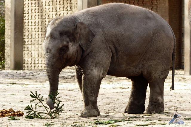 Zoo Berlin Orang Utan Rieke 08.02.2015 87