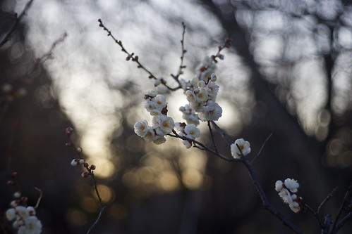 flowers winter light sunset sunlight color japan botanical evening twilight darkness blossom plum sunny chiba m42 a7 aasia 梅 2015 千葉 tessar フラワー япония zeiss80mm 冬の花 青葉の森公園 andotime manuallensonly