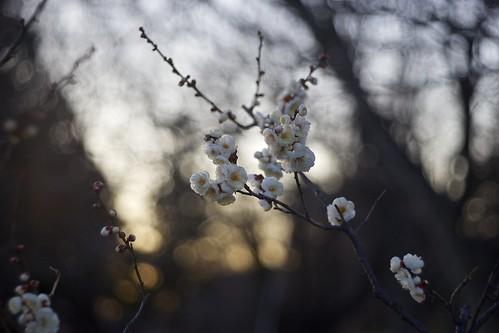 flowers winter light sunset sunlight color japan botanical evening twilight darkness blossom plum sunny chiba m42 a7 aasia 梅 2015 千葉 tessar フラワー япония zeiss80mm 冬の花 青葉の森公園 andotime manuallensonly