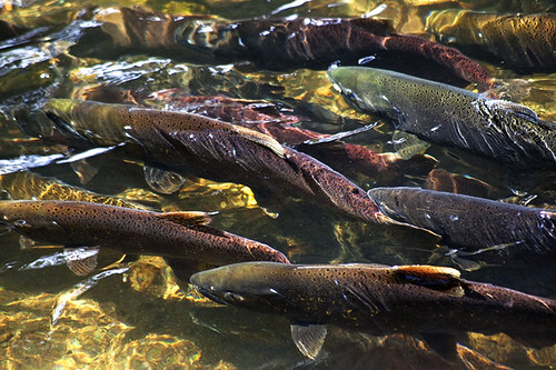Spawning Chinook Salmon on Vancouver Island, British Columbia, Canada.
