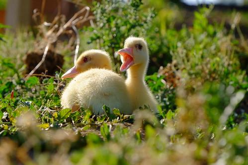 Os patos