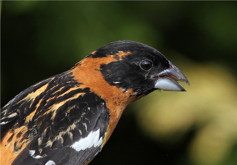 Pheucticus melanocephalus ♂ (Black-headed Grosbeak)