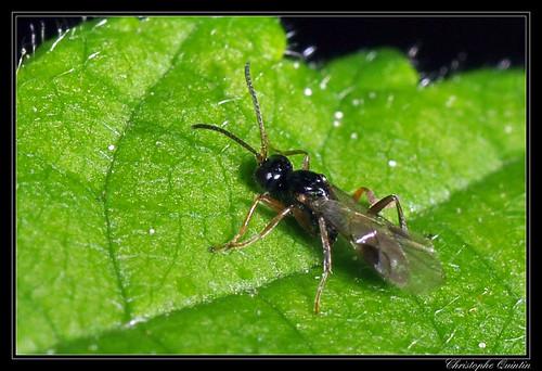 Braconidae/Alysiinae (Dacnusa sp. ?)