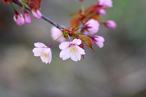 13.5.17.蝦夷山桜2