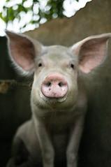 Mother Pig 2