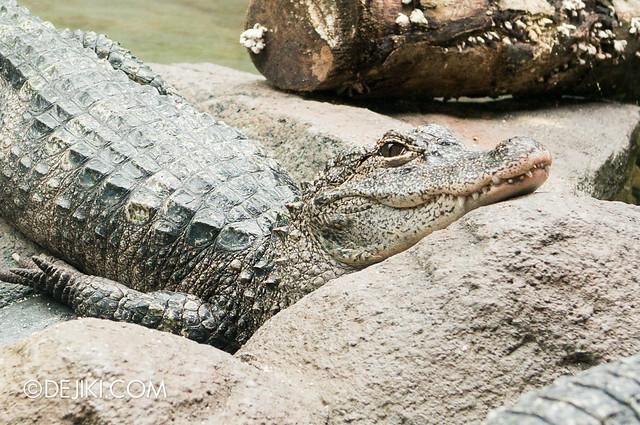 River Safari - Yangtze / Alligator