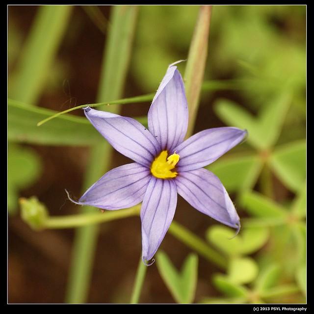 2013-06-02-P6022954-Montane blue-eyed grass (Sisyrinchium montanum)