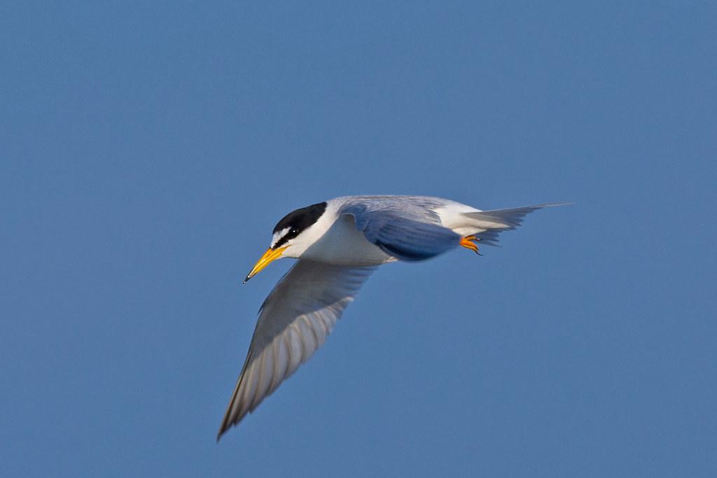 小燕鷗-2637