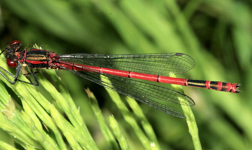 Large Red Damselfly 18334
