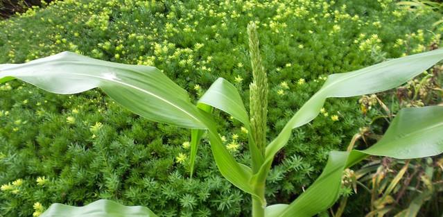 Popcorn Maize Tassel Emergring 13 Jly 2013