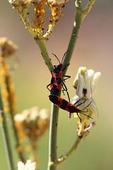 Milkweed Bugs mating