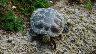 Rotwangen Schmuckschildkröte