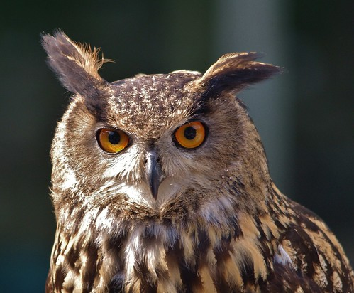 Eurasian Eagle Owl at School of Falconry at Ashford Castle, Ireland  (Explored) by masaiwarrior