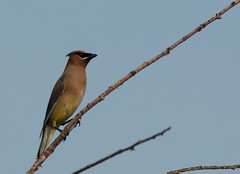 Ceder Waxwing in a tree