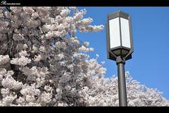 2013 UW cherry blossom