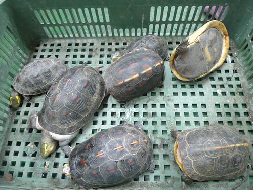 檢視保育類烏龜個體狀況:死亡個體。林務局提供。
