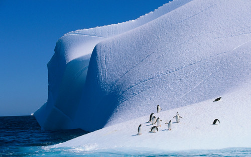 Gentoo and Chinstrap Penguins on Iceberg, Antarctica by cuervo007@rocketmail.com