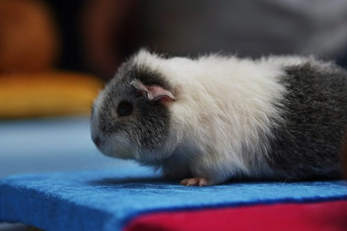 Guinea pigs of cuteness 5