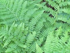 Ferns - Texture