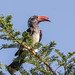 Crowned Hornbill - Photo (c) Peter Steward, some rights reserved (CC BY-NC)
