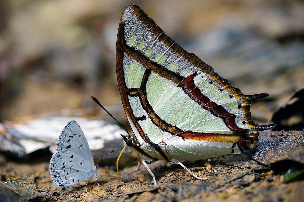 尾蛺蝶屬小雙尾蛺蝶-1