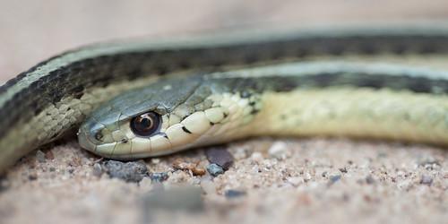 Garter Snake I