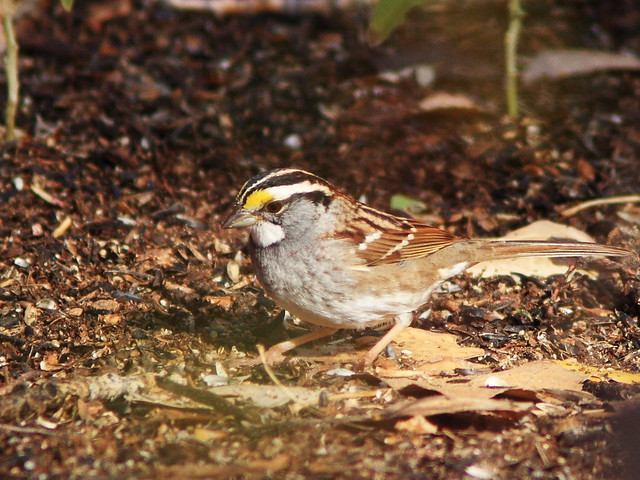 White-throated Sparrow 20131105
