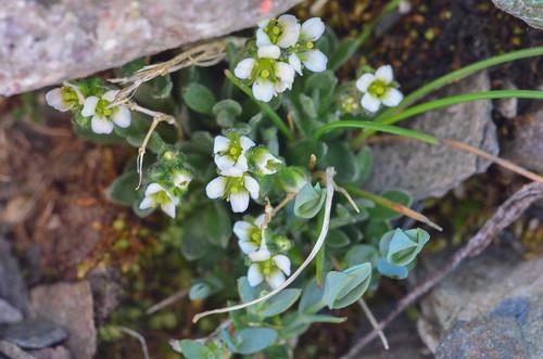 <p><i>Cardamine bellidifolia</i>, Brassicaceae<br /> Whistlers, Jasper National Park, Alberta, Canada<br /> Nikon D5100, 105 mm f/2.8<br /> July 8, 2012</p>