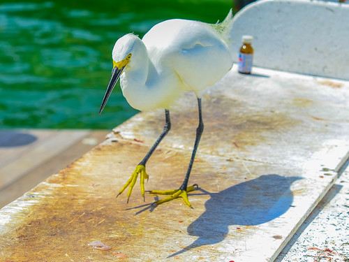 Egret trying to be sneaky and grab snapper scraps left on the fish cleaning table.