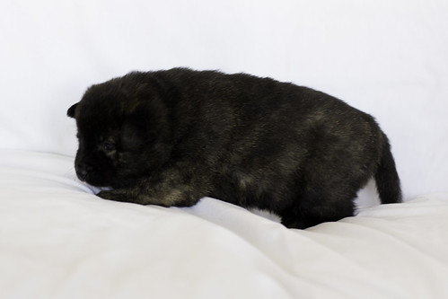 Nori-Litter1-Day20-Puppy2-Female-8