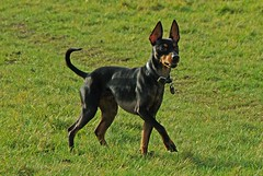 dog breed, animal, dog, german pinscher, manchester terrier, pet, pinscher, toy manchester terrier, english toy terrier, carnivoran, terrier,