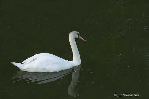 CISNE by PEPINHH