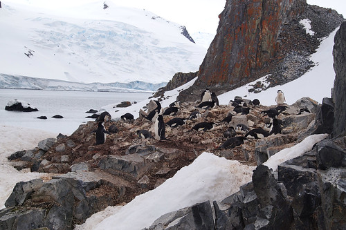 101 Wandeling Halfmoon Island - kinbandpinguins